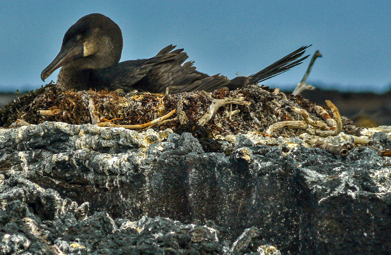 Nesting Flightless Cormorant, Punta Moreno, Isabela Island, The Galapagos