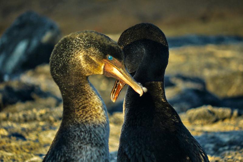 Mating Flightless Cormorants, Punta Espinosa, Fernandina Island, The Galapagos