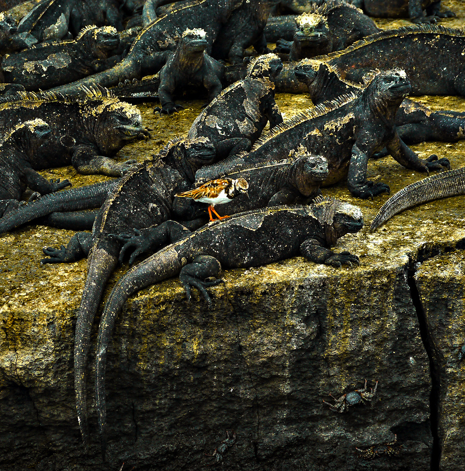 Ruddy Turnstones ride the backs of Marine Iguanas at Punta Moreno, Isabela Island, The Galapagos