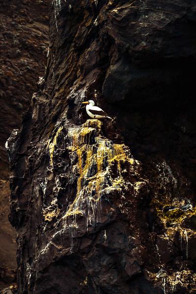 Nazca Booby, Vincente Roca, Isabela Island, The Galapagos