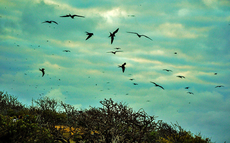 Bird storm, North Seymour Island, The Galapagos