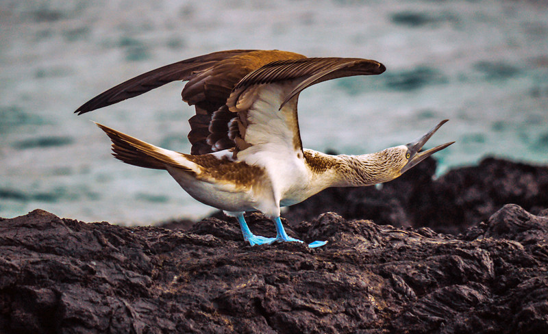 Blue footed Booby, Elizabeth Bay, Isabela Island, The Galapagos