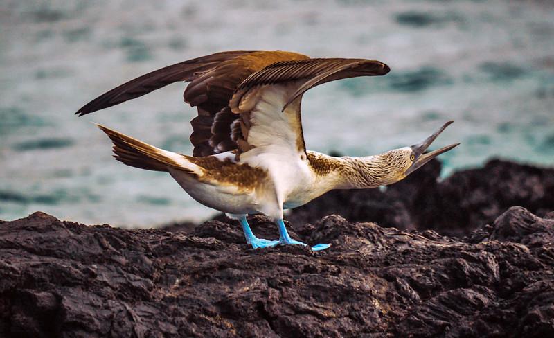 Blue footed Booby, Elizabeth Bay, Isabela Island, The Galapagos