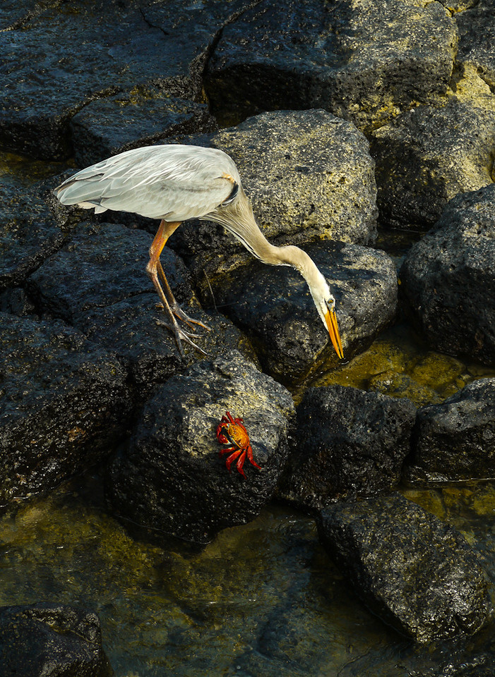 Great Blue Heron, Puerto Ayora Harbor, Santa Cruz Island, The Galapagos