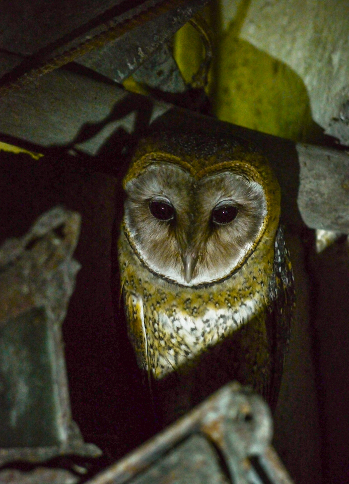 Barn Owl, El Chato, Santa Cruz Island, The Galapagos