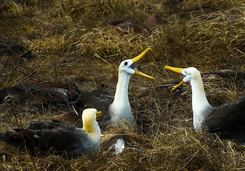 Nesting Waved Albatrosses, Punta Saurez, Espanola Island, The Galapagos