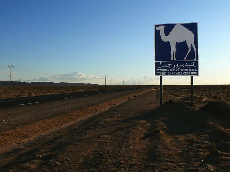 Camel Crossing near Tozeur