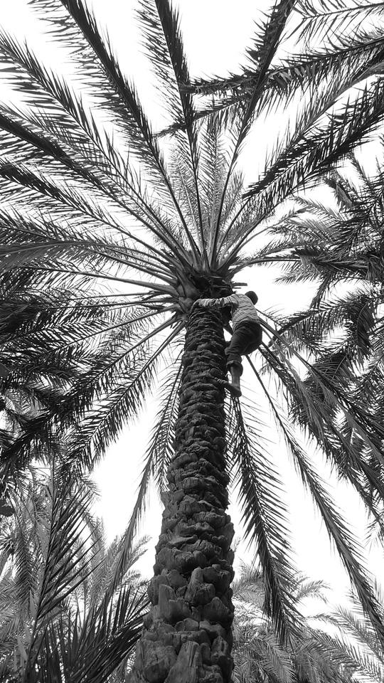 Climbing for dates, Tozeur