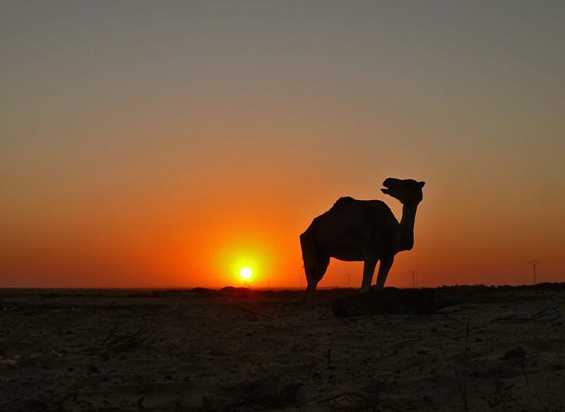 Expressive camel, Douze