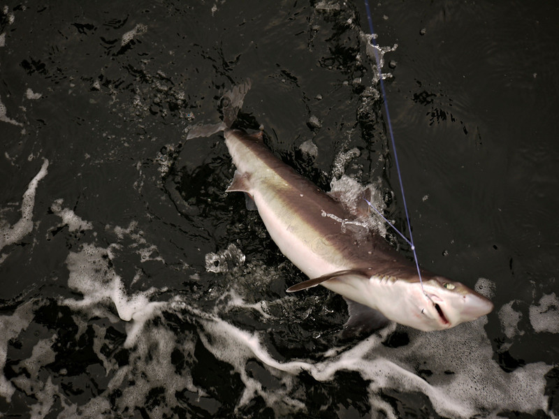Landing a shark