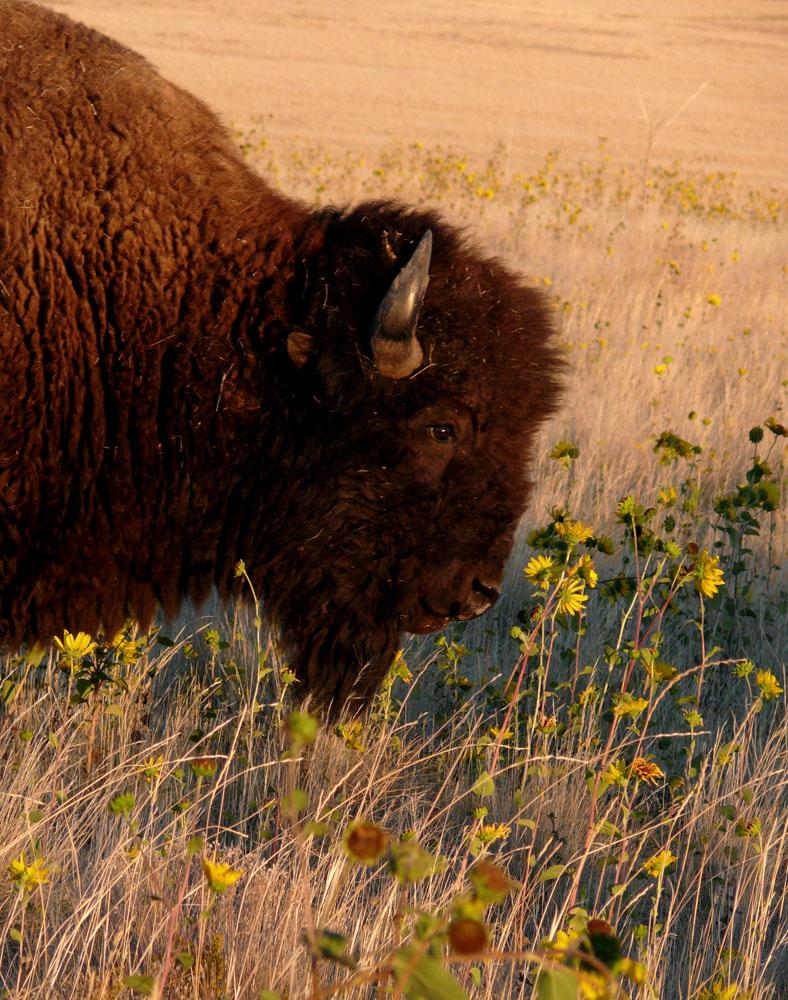 Bison and Wildflowers, Antelope Island - The bison is massive, the tiny flowers he is grazing on are frail. I was able to get this bison's nose within a few inches of the flowers. It was as if he had just stopped to smell them.