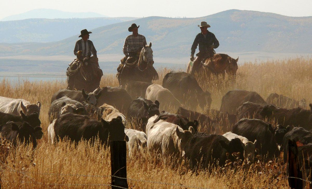 Cowboys at work, Henry, Idaho - A trio of cowboys drive a herd of cattle right past the open door of our van.