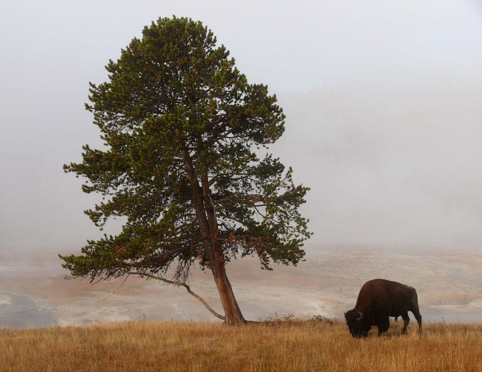 Fog on the Firehole, Yellowstone - A bison grazes near a tree that has bent with the winds, as the fog lifts over the Vally of the Firehole.