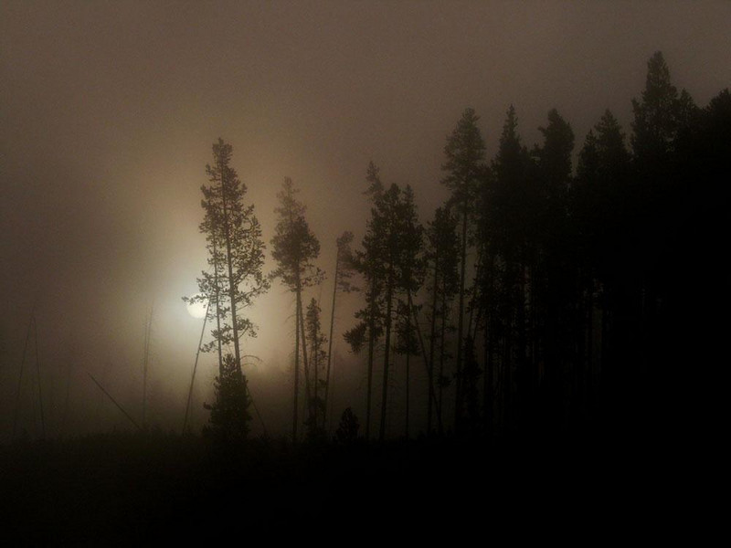 Dawn at Yellowstone - Rows of Lodgepole Pines greet the sun on a foggy morning in Yellowstone National Park.
