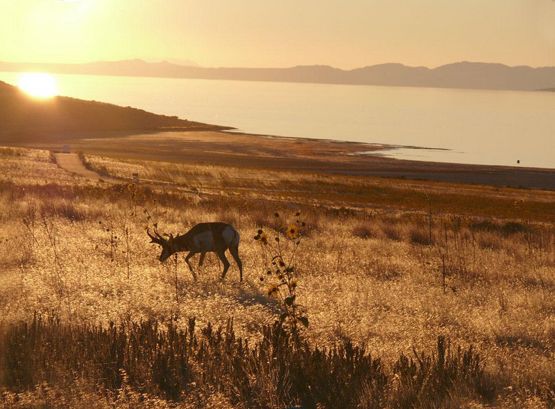 Antelope at sunset, Antelope Island - Antelope Island State Park, a few miles from Salt Lake City, is a wonderful wildife sanctuary. Not only are there 700 bison but many Pronghorn Antelope and birds as well.