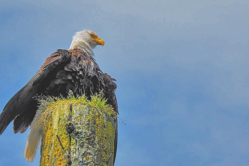 43, Bald Eagle