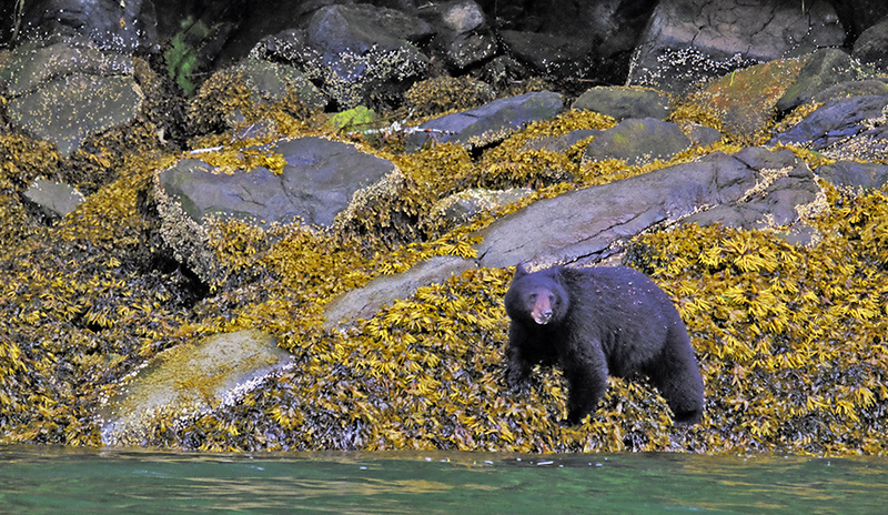 41  Black Bear in Grizzly Country copy
