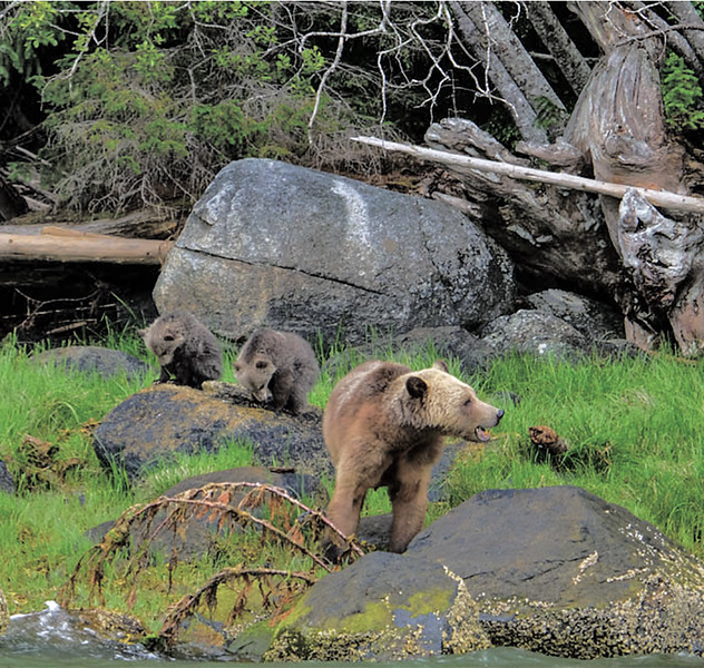 33  A mother guards two cubs