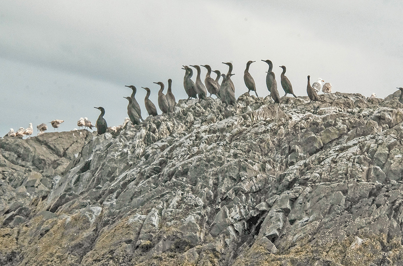 6 a gathering of cormorants