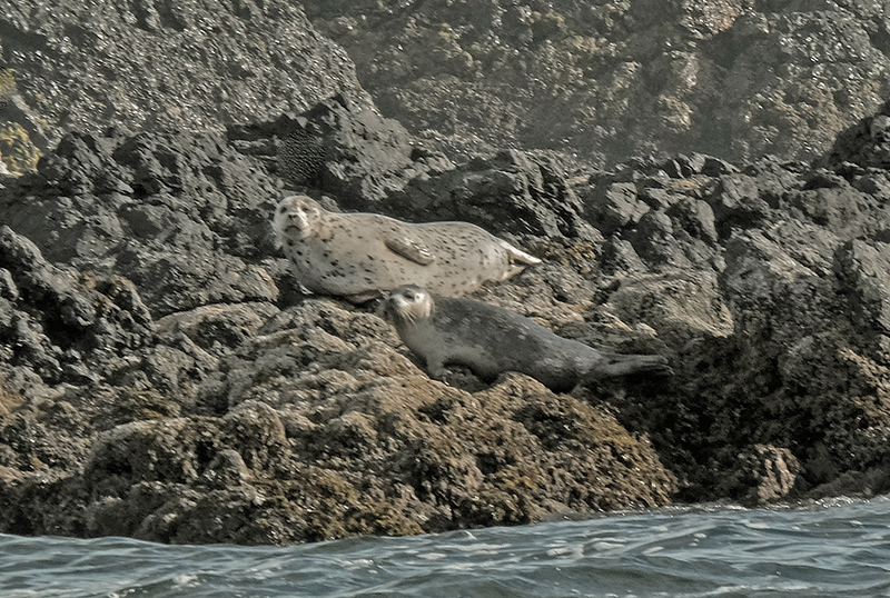9  harbor seals three