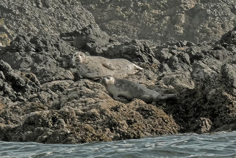9  harbor seals three