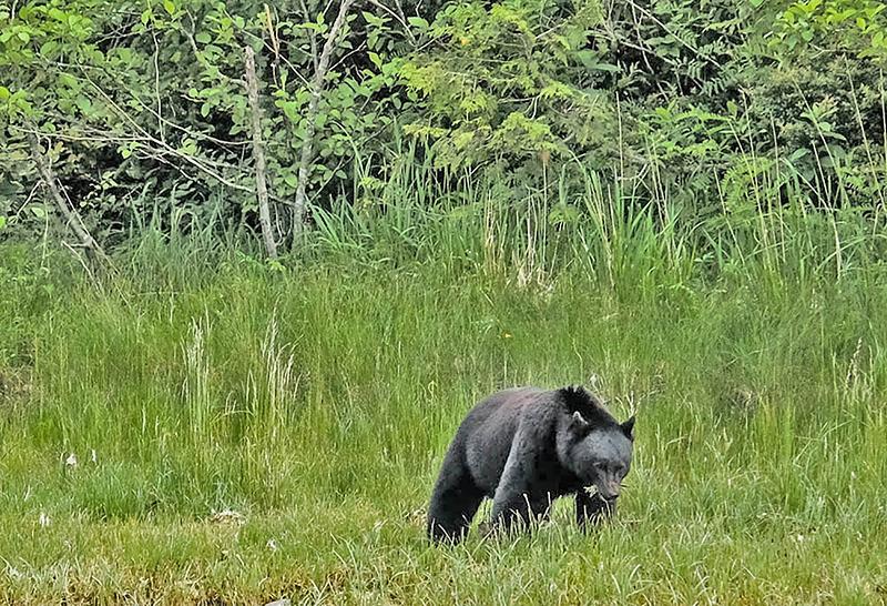 13  Black Bear in the sedge