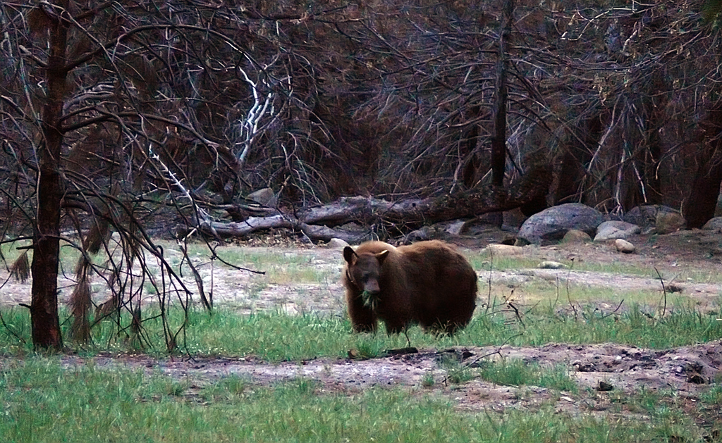 Grazing bear, Yosemite