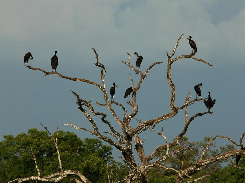 Tree of Storks - Eight Open-Billed Storks share the same dead tree just a few yards from Mfuwe Lodge. The Lodge is one of the largest hosts in the valley.