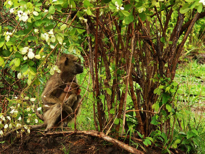 Seclusion - Some baboons are brazen. Others, often mothers carrying babies, were more cautious. This one seeks shelter amidst some bushes.