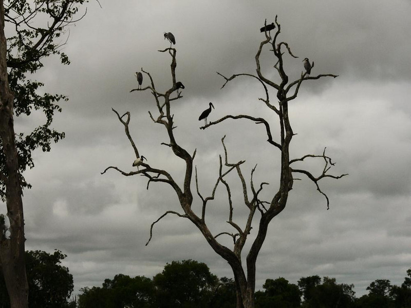 Monochromatic stork roost - Nature itself has converted this image from color to black and white. There is not a shred of color in it. Five black storks on a long dead tree, which has been shredded by elephants, are silhouetted under a leaden gray sky.