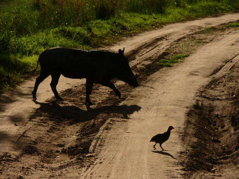 Creatures of the road - No matter where one goes in South Luangwa National Park, wildlife abounds on its roads and tracks. This warthog and Francolin are keeping in step with their shadows near the Mushilashi River.