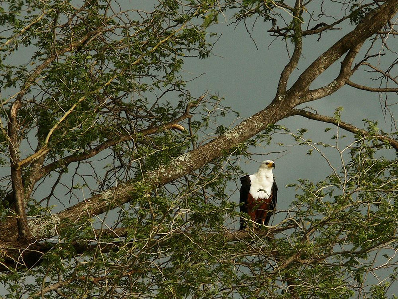 African Fish Eagle - I spotted this African Fish Eagle in a tall tree near the Luangwa River. It sits in tall trees near water most of the time, watching and waiting for a fish dinner.