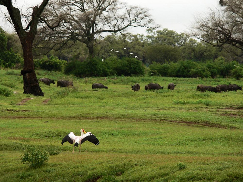 Birds and Buffalos - A herd of Cape Buffalo draw a flock of overhead cattle egrets, while a yellow billed stork considers joining the party.
