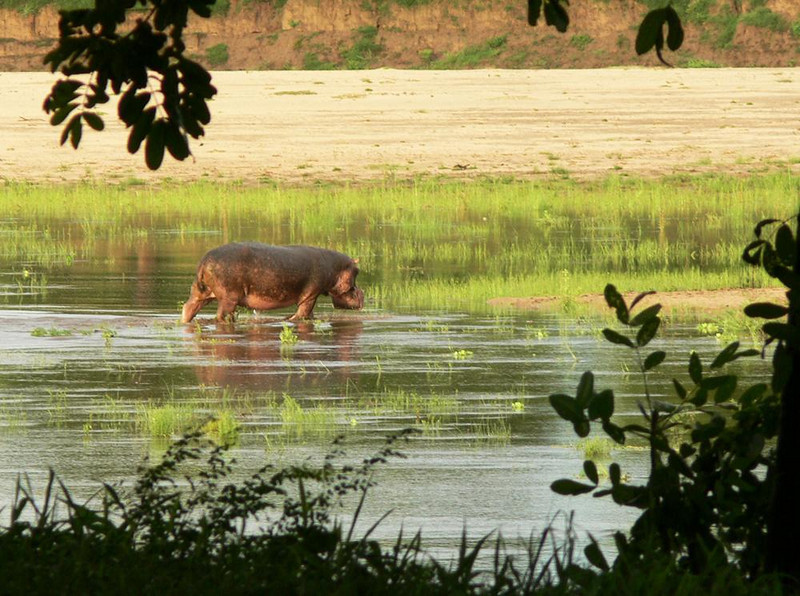 Return to the river - Sometimes we saw hippos still grazing at break of day. I photographed this one from the deck at Luangwa River Lodge as it heads back to waters of the river.