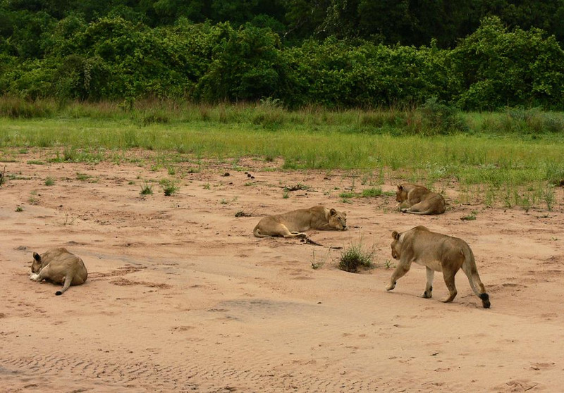 Lions, Katete River bed - Although the rains have come to Zambia, many of its rivers were still dry during my two week January visit. These lionesses enjoy bedding down in the soft sands of the Katete River bottom.