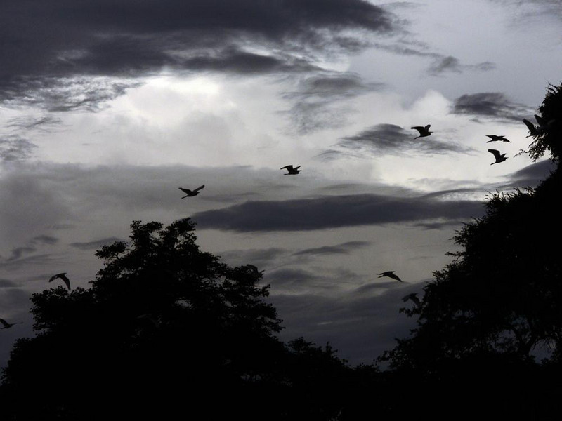 Egrets make way for the evening rains - The sun is gone, and flocks of egrets soar over the banks of the Luangwa River under a painterly, monochromatic sky, pushed by the winds that precede the evening rains.