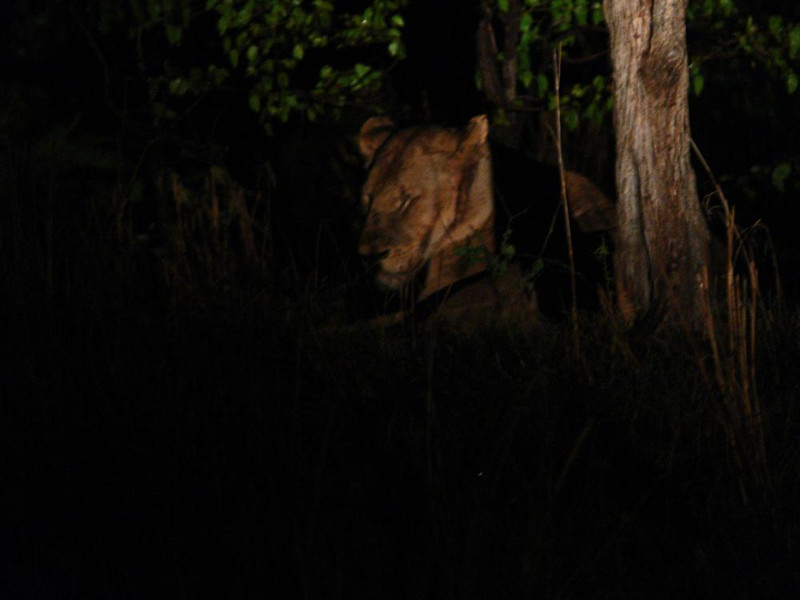 Lioness at rest - A lioness, her eyes closed, was sitting deep in the forest. The beam of our spotlight caught her head -- she was so far away that the light fades as it strikes her, making this picture hauntingly abstract.