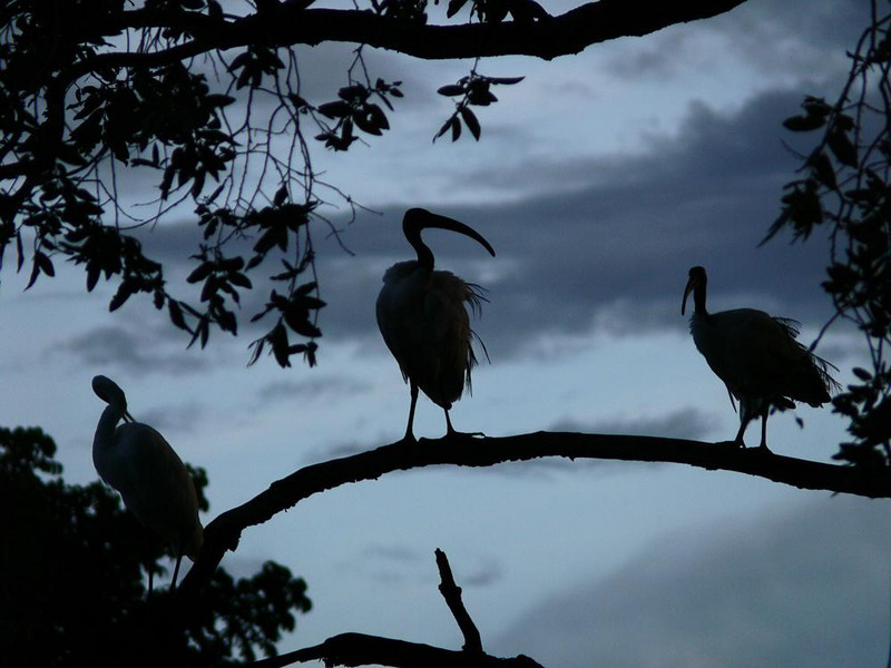 Sacred Ibis at dusk - Sacred Ibis stand ready for nightfall near Mfuwe Lodge in South Luangwa National Park. This white wading bird with its distinctive curved beak was venerated in ancient Egypt and often mummified. It is often seen in Zambia's Baobab trees.