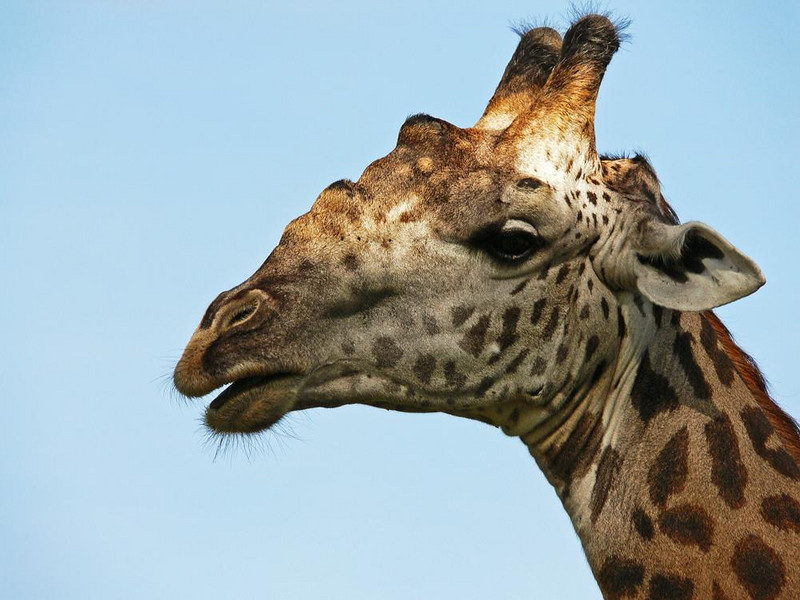 Thornicroft's Giraffe - The Thornicroft Giraffe is only found in the Luangwa Valley. Its unique markings differentiate it from giraffes found in other parts of Africa. Tallest of all mammals, giraffes are distinguished by their hairy, knobby horns called ossicones.