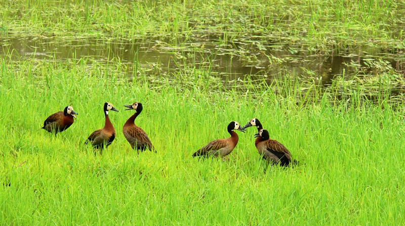 Duck Chat - These White Faced Whistling Ducks appear to be having a gabfest.They use different whistles for different situations. I found these ducks in the grass surrounding a Luangwa lagoon.