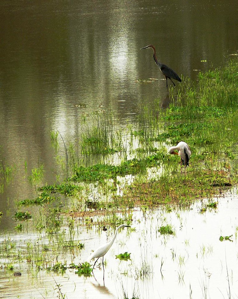 Shore birds on the Luangwa - A Goliath Heron, a stork, and an egret share the same reeds along the Luangwa River.