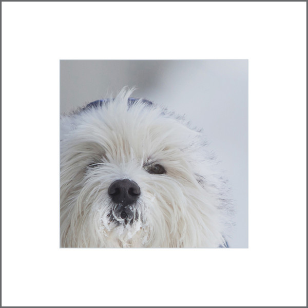 My Westie (Winnipeg Pet photographers)