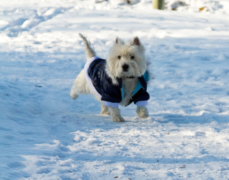 Westie with a Blue Coat in Winnipeg
