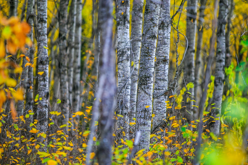 Birch Trees in Fall (Manitoba)