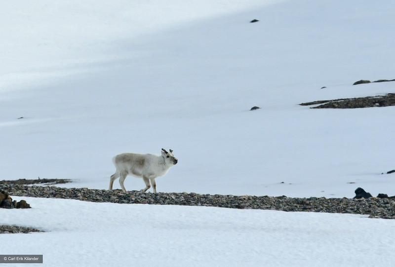 Svalbard, reindeer