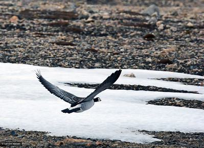 Svalbard, barnacle goose