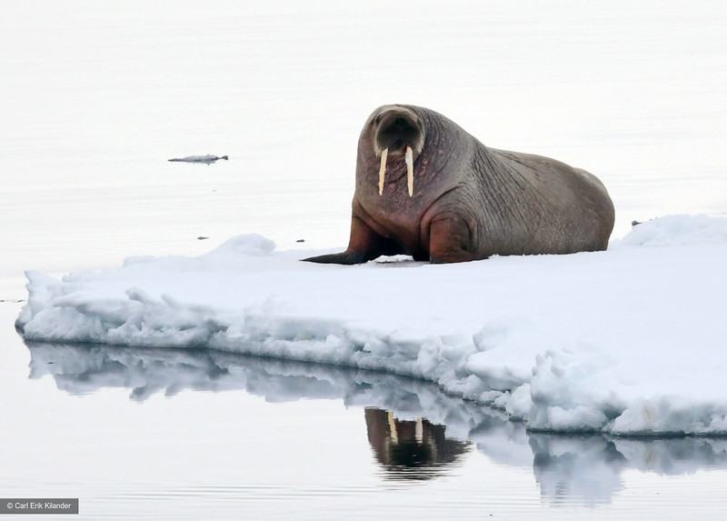 Svalbard, walrus on ice