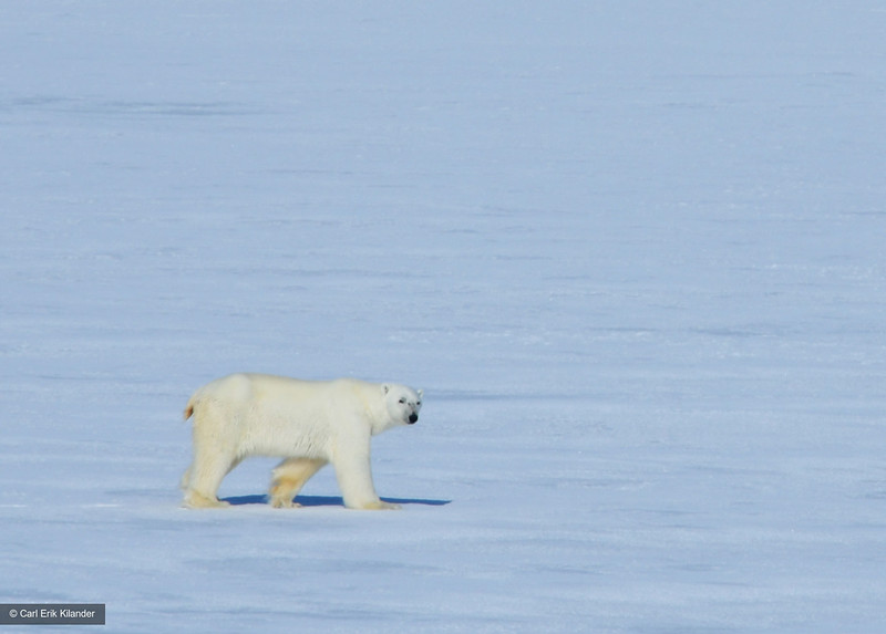 Svalbard, polar bear on fast ice