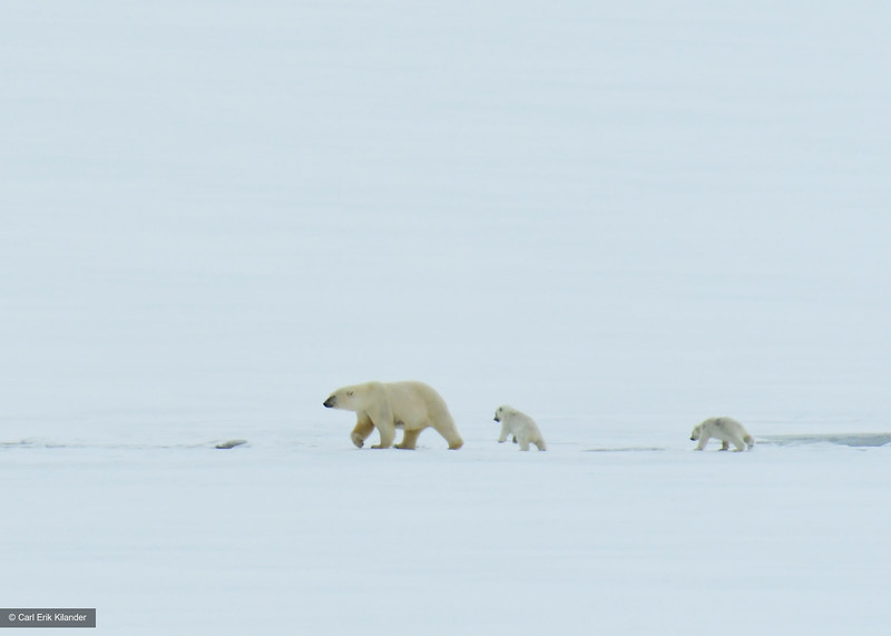 Svalbard, polar bear with cubs