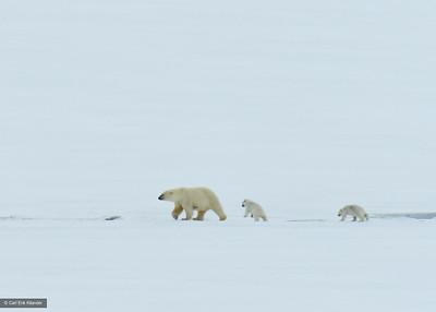 Svalbard, polar bear with cubs